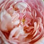 Dames De Chennonceau Rose