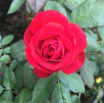 Europeana Rose