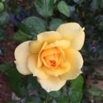 Gold Glow rose