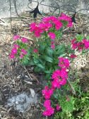 Dianthus (Sweet William)