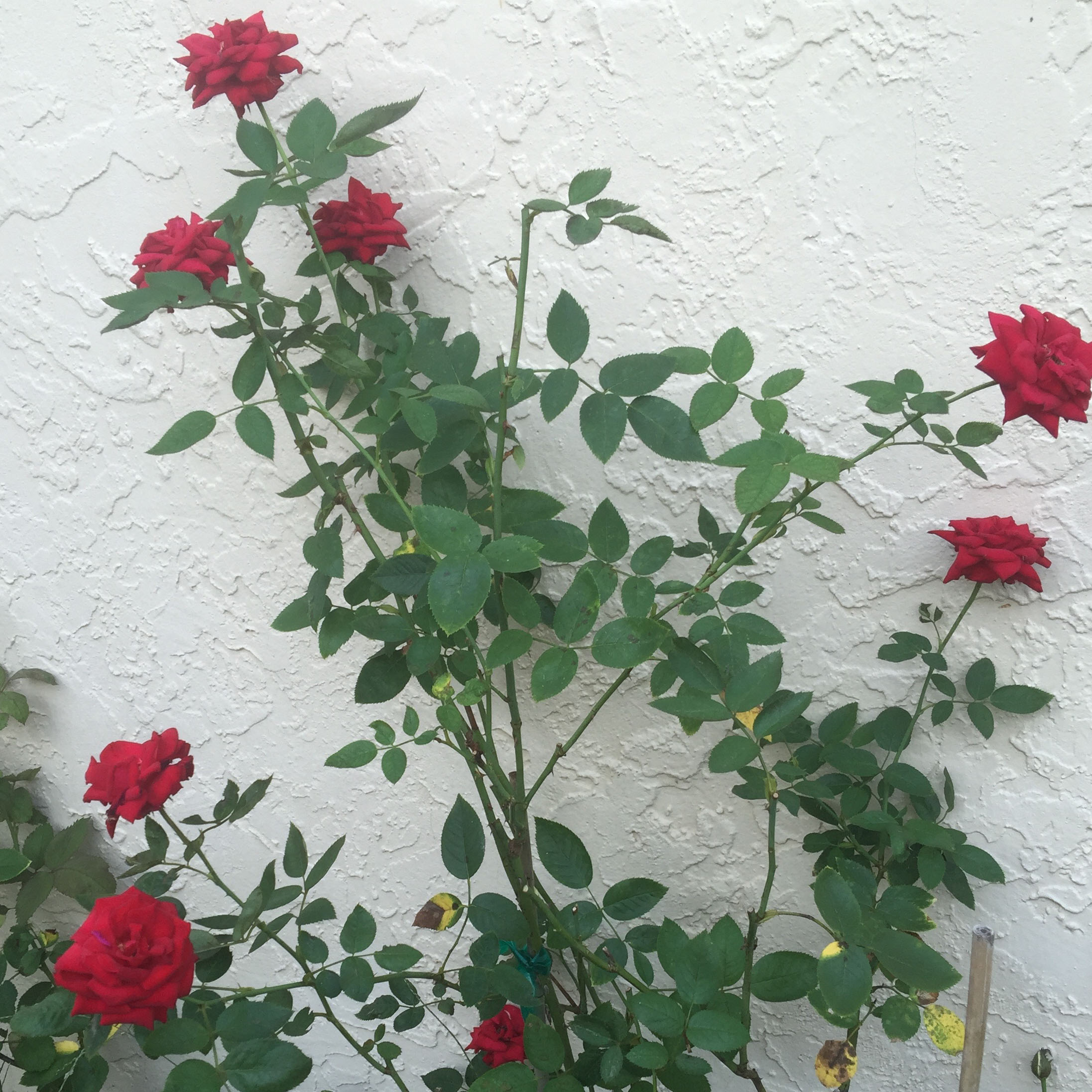 the roses south florida rose. Black Bedroom Furniture Sets. Home Design Ideas