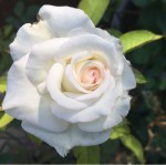 Moonestone Rose
