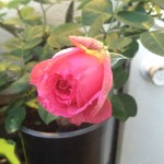 Pink Traviata Rose