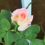 Secret Rose