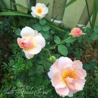 Belle Story rose