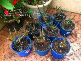 Bare Root Roses Potted Up