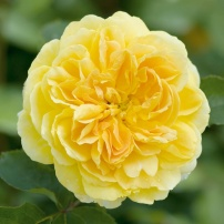Molineux Rose
