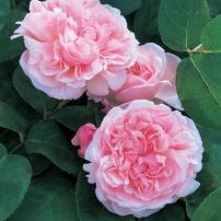 St. Swithun Rose