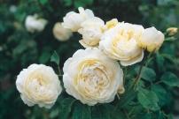 WIndermere Rose