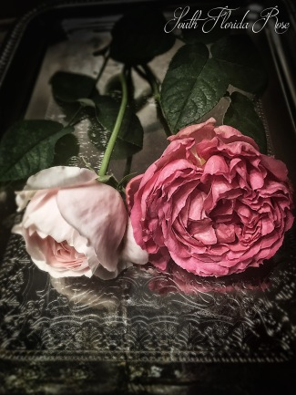 Evelyn bud with Pink Traviata