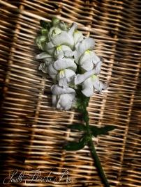 White Aroma Snapdragon