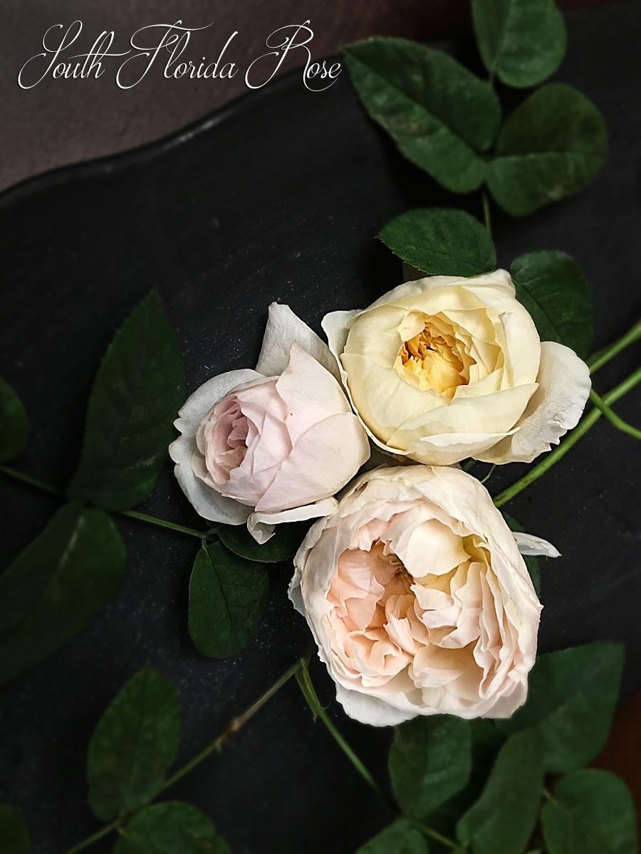 Oliva Rose Austin (left), Evelyn (below) and Charlotte (right))