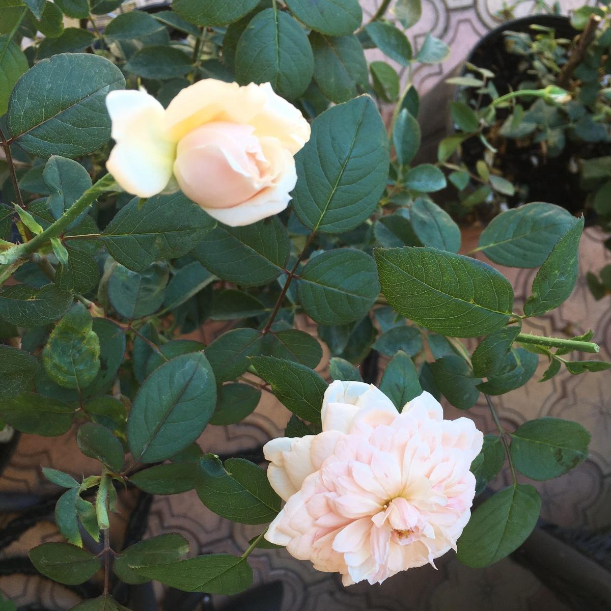 Unknown English Rose