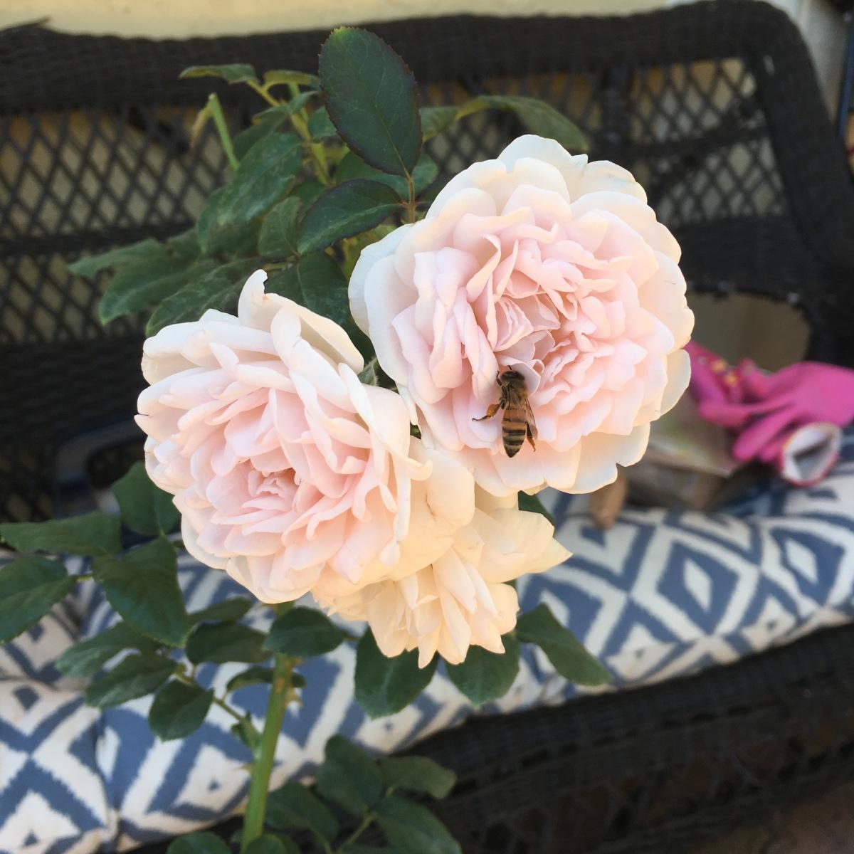 Eglantyne Rose