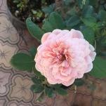 Alnwick Rose