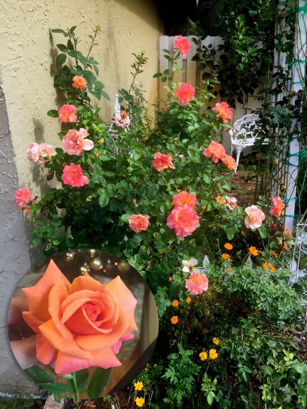 10 Roses That Should Have A Home In Every South Florida Garden
