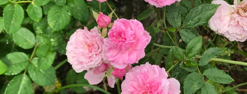Caldwell Pink rose