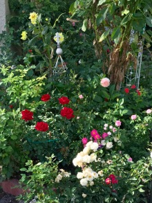 Roses are surrounded by other plants such as mums, dahlias, and Four O'clocks in order to bring diversity to the garden.