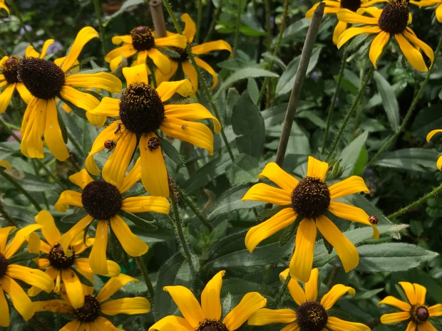 Black Eyed Susans bring lady bugs