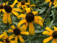 Black Eyed Susan brings ladybugs to the garden.