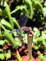 Beneficial insects such as this dragonfly are now common visitors to the garden.