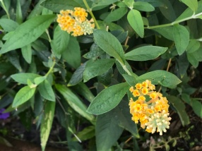 Butterfly bush (buddleia) brings many butterflies and other polinators to the garden.