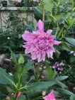 A large dahlia blooms amongst roses, impatiens and other plants in the garden.