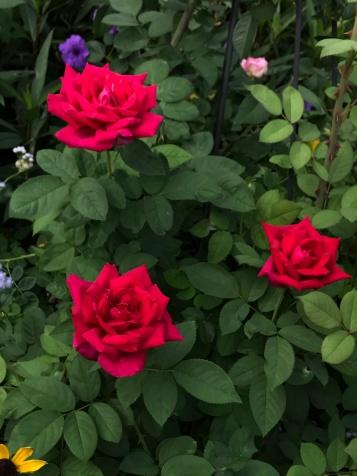 Chrysler Imperial roses