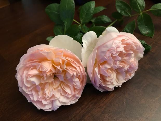 Evelyn is the winner for most fragrant rose.