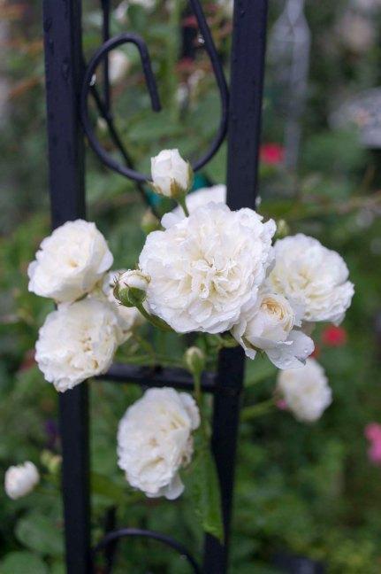 Prosperity Rose