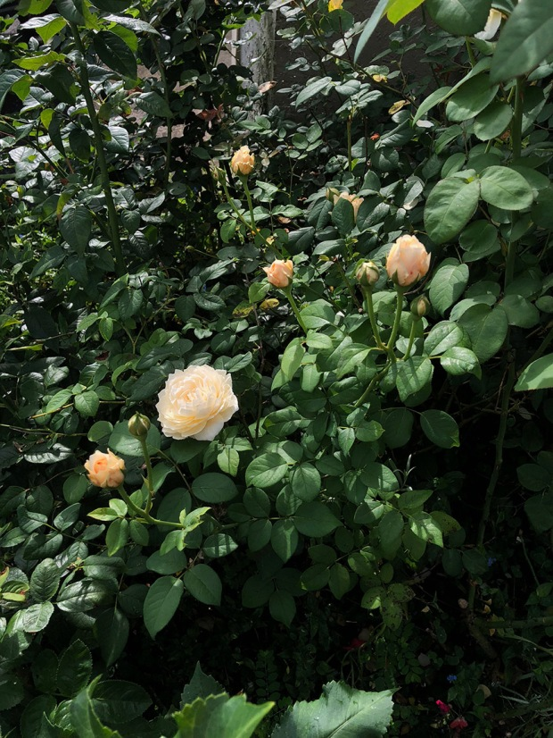 Rose_Garden08