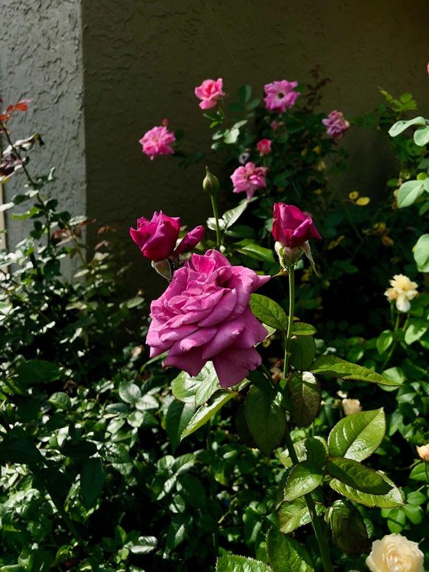 Rose_Garden09