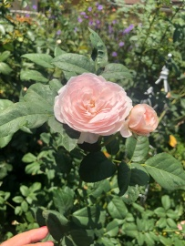 Some roses show little to no damage from chilli thrips